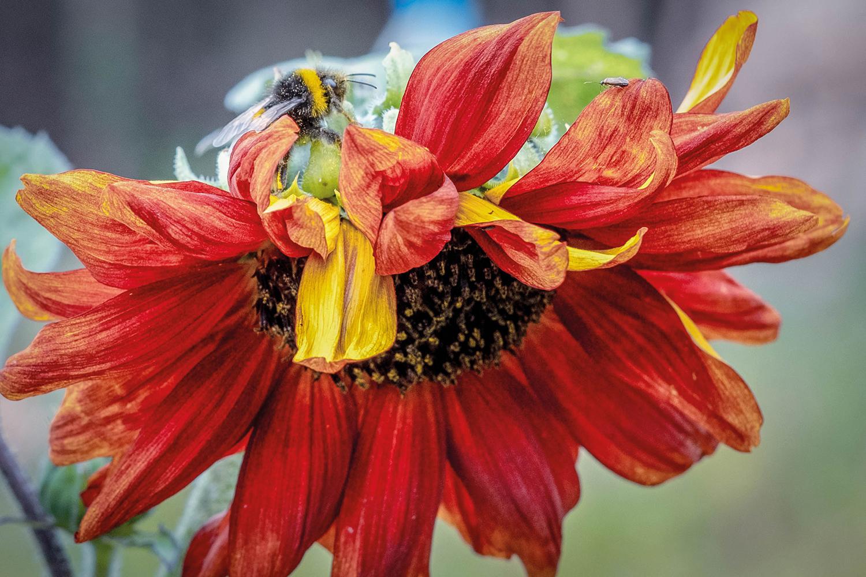 BUF bee